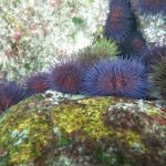 Colored urchins (Foxos Beach)