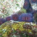 Erizos de colores (Playa de Foxos)